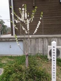 記念樹咲きました